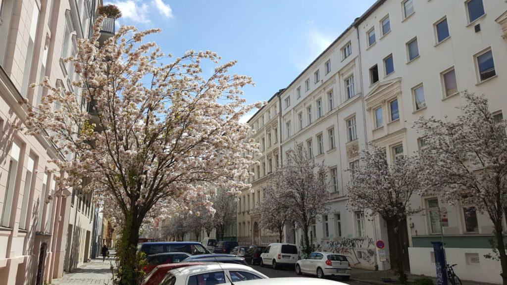 Berlin Mitte Kirschblüten